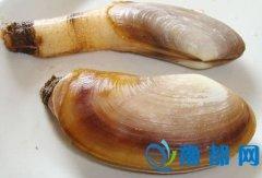 象拔蚌的营养价值丰富吗