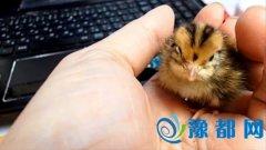 母爱爆棚:家养鹦鹉意外孵出小鹌鹑(图)