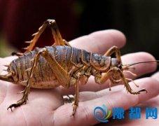 新西兰动物园放生300只大蝗虫 是一般蝗虫50倍