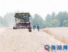 遂平小麦开始收割