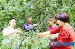 蚁蜂东山农场的杏儿熟了