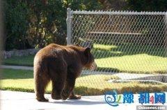 加拿大一只黑熊两度入侵民宅 翻箱倒柜大吃大喝
