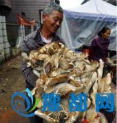 菜地长出50余斤真菌 专家鉴定能食用