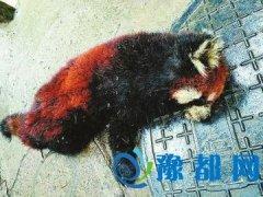 珍稀小熊猫四川广元遭盗猎 中途死亡被扔水沟