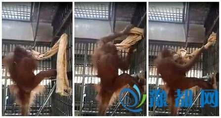 泰国猩猩自制吊床 其动作可谓完美