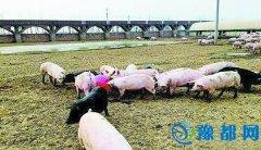 平顶山:猪身上长出现代农业产业链