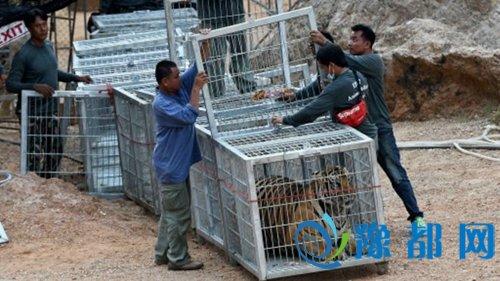 """人民网5月31日讯 据BBC报道,在泰国著名的老虎庙帕朗塔布寺里,老虎数量从1999年的第一只,增加到如今的137只。寺庙也成为一个主要旅游景点人称""""老虎庙""""。庙里的老虎变成摇钱树,尤其是小虎。游客可以溜一溜小虎或者与成年老虎拍摄亲密照片,并牵着他们走路,做各种表演。费用加在一起最多可超过200美元。这座寺庙引发强烈的争议。"""