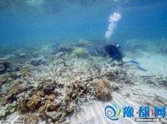 """厄尔尼诺带来海水升温 海洋保护区成珊瑚""""坟场"""""""