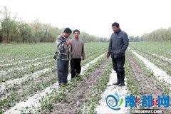 新疆兵团库尔勒垦区遭暴雨冰雹袭击 农作物受灾