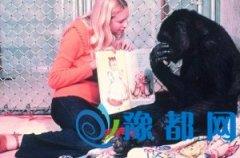 大猩猩与训练员相处40年:会说人话 办人事(图)