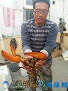 烟台现3.8斤重罕见大龙虾 90岁渔民称第一次见