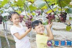沈庄采摘园的葡萄熟了