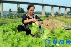 交口乡朱家沟蔬菜种植基地优质小白菜长势喜人