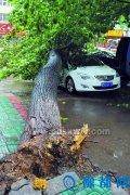 狂风刮倒大杨树砸伤了路人砸坏了车