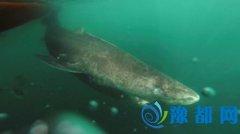 地球脊椎动物老寿星:格陵兰鲨鱼可活400年(图)