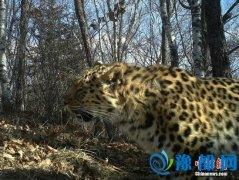 黑龙江多次拍到野生东北虎和东北豹影像