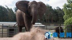 动物预言帝:德动物园大象成功预测欧洲杯比赛