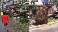 实拍台风致大树被连根拔起 街道秒变丛林