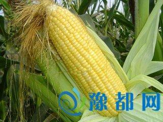 玉米能防癌抗衰是真的吗