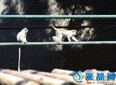 """郑州动物园引进绿猴 它是个""""酒鬼"""" 猴年10月1日出生者 十一当天免费入园"""