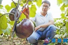 培育新品种助农增收