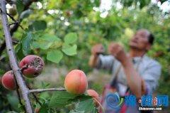 山西永济张营镇尊村的姬存常管理着树上的杏。刘宝成摄