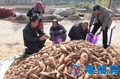 柳园口乡小马庄新品种红薯喜获丰收每亩收入高达8000元