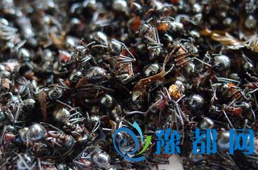 黑蚂蚁怎么吃 黑蚂蚁的功效与作用