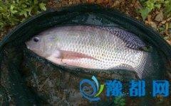 罗非鱼的营养价值 吃罗非鱼有哪些好处