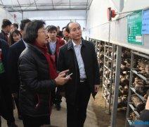 中华全国供销合作总社监事会主任诸葛彩华实地观摩我县香菇产业发展情况
