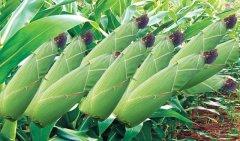 这东西农村掰玉米直接丢掉 到城里却是难买的良药