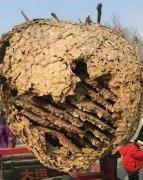 河南登封现近2米长巨型蜂巢 大叔骑车售卖