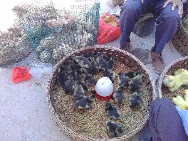 都是出生不久的,农民买回去养。