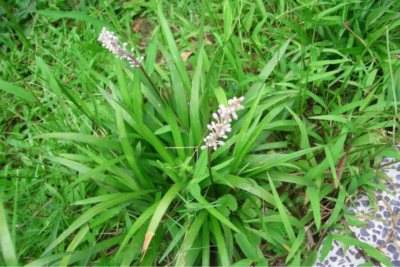 1、麦冬。郑州各大公园似乎都有。多年生草本,他的药用部分是根茎,每年4月上旬,采收,揉捻,晒干就成中药麦冬了。