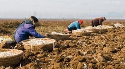 银条好吃,但种着不容易挖着也难。银条对生长环境特别挑剔,由于地势、水土的需求,全国的银条绝大部分都产自咱们河南,所以说很多外地人也就是听人说过,根本都没见过!