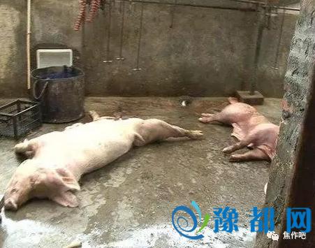 焦作孟州一官方兽医因拒绝肉眼鉴定死猪 被领导停职
