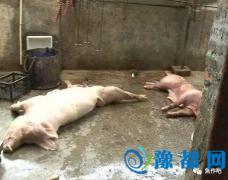 焦作一官方兽医因拒绝肉眼鉴定死猪 被领导停职