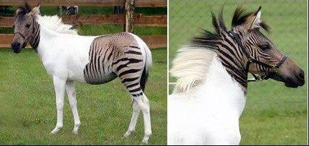 斑马,跟白马杂交。头部和尾部留有斑马的黑白特征,而中间的身躯,则留下白马雪一样的毛色。这种混血儿数量很少,因此极为罕见。