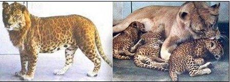 花豹和狮子,头部很像狮子,但身体和灵敏度却继承了花豹的特征。据悉,第一头有证可考的豹狮是1910年在印度戈尔哈布尔诞生的。
