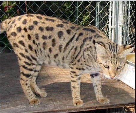 杂种藏獒跟野猫生出来的混血儿。外表很奇怪,没有一点是像藏獒,但据主人介绍,这猫跟平时慵懒的猫咪不一样,喜欢挑战比它大的动物,经常打到输为止。