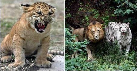 狮子和老虎,出来的杂交特征是身上布满斑纹,它们是世界上体型最大的猫科动物,与老虎一样但又与狮子有所不同的是,狮虎喜欢游泳。