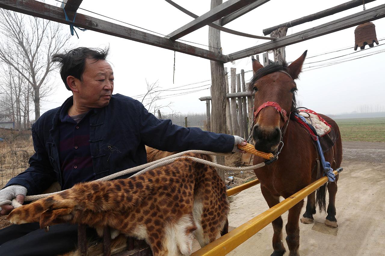 为了保持马儿的体力,中途郭老汉还会给马儿喂食一些食物。