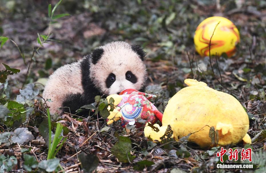 1月11日,中国大熊猫保护研究中心2016年新生的8只熊猫宝宝集体亮相,率先向全国人民拜年。这8只熊猫宝宝中,有3对双胞胎,2只单胎。它们在工作人员布置的充满新春喜庆氛围的环境里东看看,西闻闻,憨态十足,萌翻全场。 安源 摄