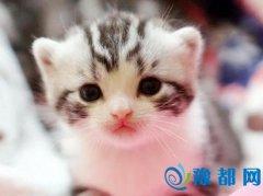 美短猫是美国的开国功臣 简直太有逼格了!