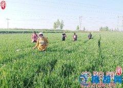 韩庄镇积极采取措施做好小麦病虫害防治工作