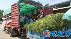 杞县蒜薹丰产政府采取多项有效措施促销  蒜薹价格迅速回升