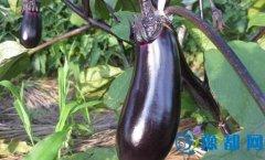 茄子的营养价值 红烧茄子的详细做法