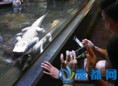 日媒:日本首次展出白身红眼鳄鱼(图)