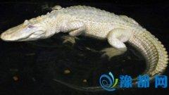 白色鳄鱼亮相日本动物园 身白眼红全球罕见(图)