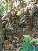 宝天曼保护区野生红腹锦鸡孵蛋记